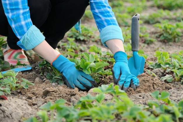 Ręki kobieta w rękawiczkach z ogrodowymi narzędziami zasadzają truskawkowych krzaki w ziemi
