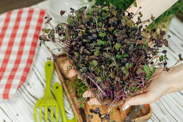 Ręki kobiety mienia tace z mikro zielenią