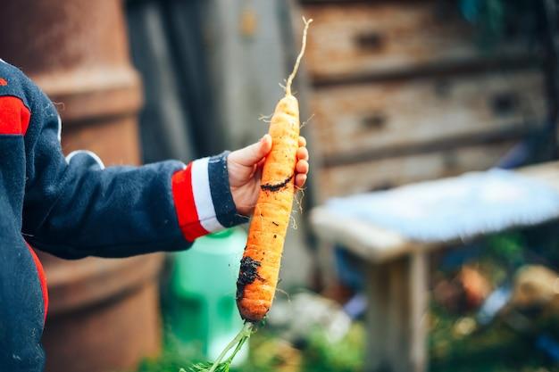 Ręki mały chłopiec trzyma jeden dużej marchewki