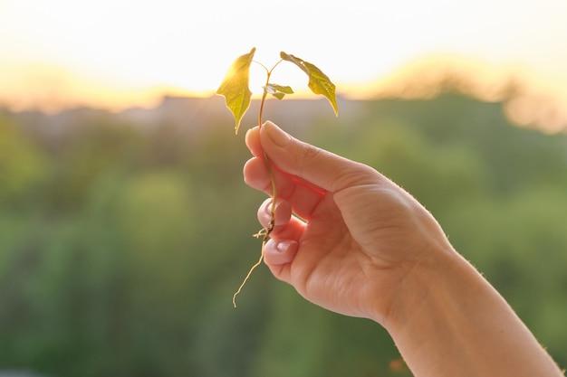 Ręki mienia flanca mały klonowy drzewo, konceptualna fotografia
