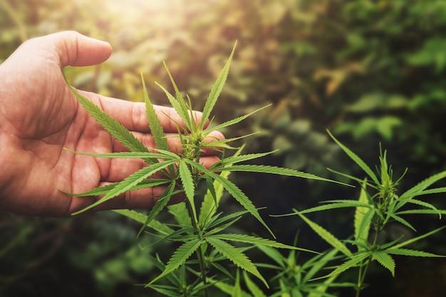 Ręki mienia liścia marihuana w gospodarstwie rolnym z zmierzchem