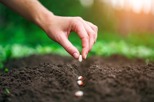 Ręki sadzenia fasoli ziarno w jarzynowym ogródzie
