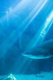 Rekin pływa sam w zbiorniku