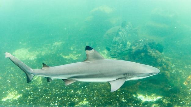 Rekin rafowy blacktip w zbiorniku w akwarium