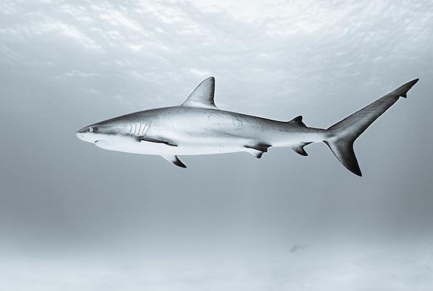 Rekin tygrysi pływa w oceanie w ciągu dnia