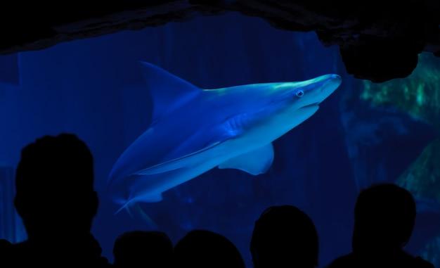 Rekin w akwarium i obserwujące go sylwetki ludzi