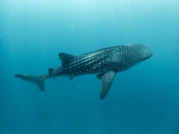 Rekin wielorybi na niebiesko
