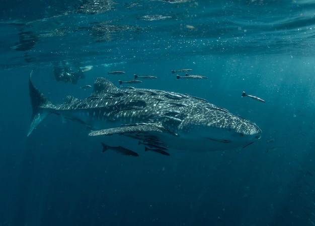 Rekin wielorybi na powierzchni
