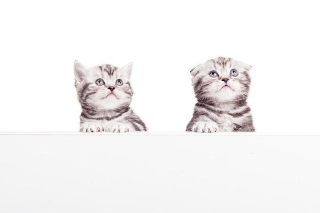 Reklamowanie swojego produktu dla zwierząt. dwa ciekawskie kocięta szkockie zwisłouchy pochylają się nad przestrzenią kopii i odwracają wzrok, będąc odizolowanymi na białym tle