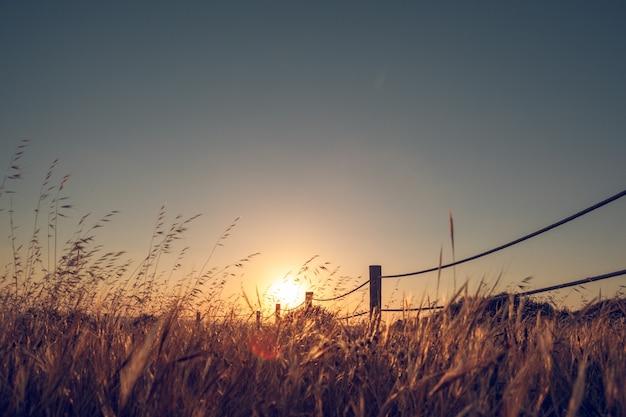 Relaksujący zachód słońca na polu pszenicy, gdzie wieje wiatr
