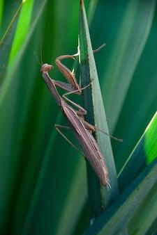 Religiosa modliszki studiujące insekty surope
