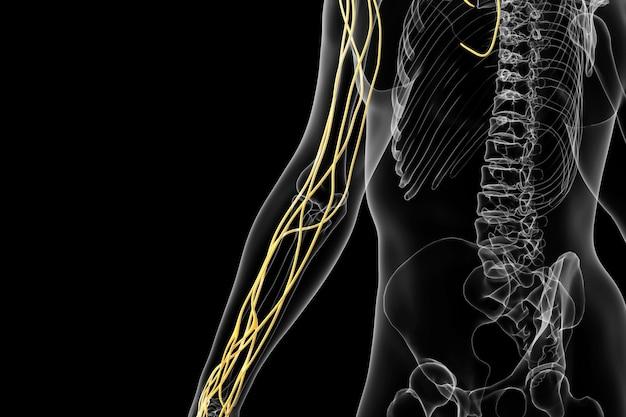 Rendering kinowy 4d struktury neuronowej tętnicy promieniowej ludzkiej ręki