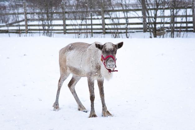 Renifer w zagrodzie w zimowy śnieżny dzień, północne zwierzę