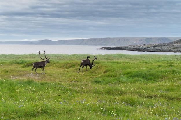 Renifery pasą się na wybrzeżu morza barentsa, półwysep varanger, finnmark, norwegia
