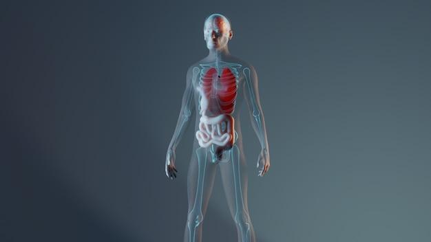 Reprezentacja męskiej anatomii człowieka ze szkieletem i narządami wewnętrznymi
