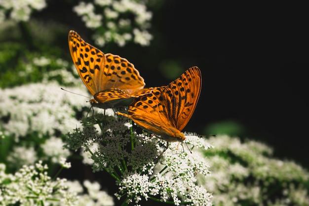 Reprodukcja dwóch motyli na kwiatku