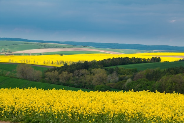 Republika czeska. morawy południowe. pagórkowate pola z kwiatami rzepaku i zieloną pszenicą. zachmurzone złowieszcze niebo