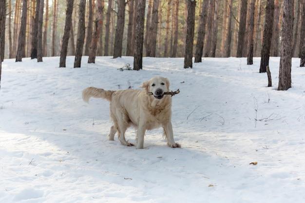 Retriever w zimowym lesie
