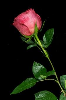 Rewolucjonistki róży kwiat z rosą w czarnym tle