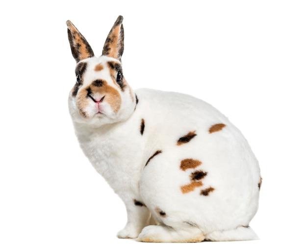 Rex dalmatian rabbit, siedzący na białej powierzchni