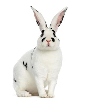 Rex dalmatian rabbit siedzi, na białym tle na białej powierzchni