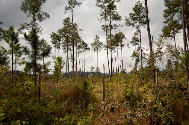 Rezerwat górski pine ridge, las deszczowy