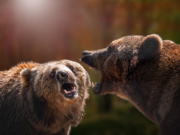 Rezerwat przyrody kamczatka południowa kamczatka. kamczacki niedźwiedź brunatny.