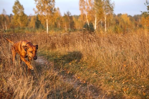 Rhodesian ridgeback biegnie przez jesienne pole o zachodzie słońca