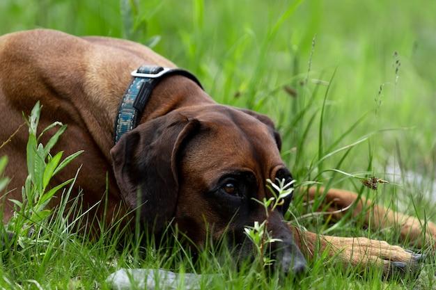 Rhodesian ridgeback leży na trawie. piękny czerwony pies leży na trawie ze spuszczoną głową