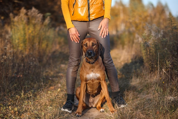 Rhodesian ridgeback siedzi w nogach trenerki na jesiennym polu