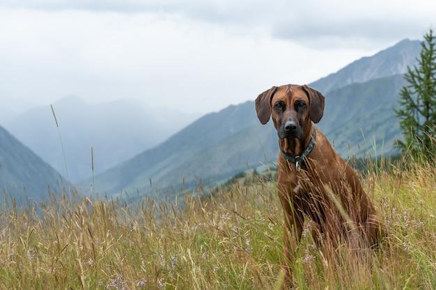 Rhodesian ridgeback siedzi w trawie na wysokim zboczu góry. portret psa na tle górskiego krajobrazu