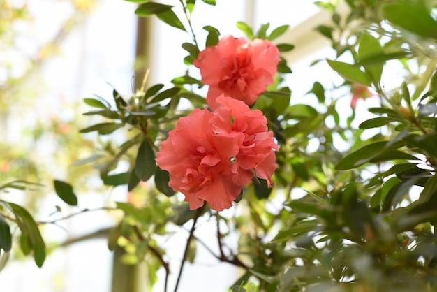 Rhododendron bunde schame lub azalea indica