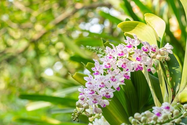 Rhynchostylis gigantea orchidea, fioletowy i biały kwiat, w rozkwicie, na zielonym tle przyrody niewyraźne, koncentrują się na pierwszym planie, z miejscem na tekst.