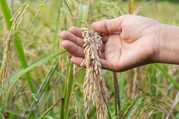Rice blast disease. choroby i uszkodzenia ryżu, ziarna ryżu i pola ryżowe w gospodarstwach