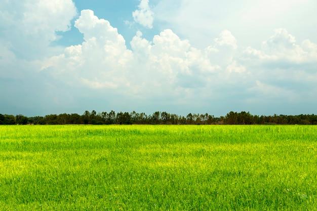 Rice pola zielona trawa z niebieskim niebem i chmurnym krajobrazem.
