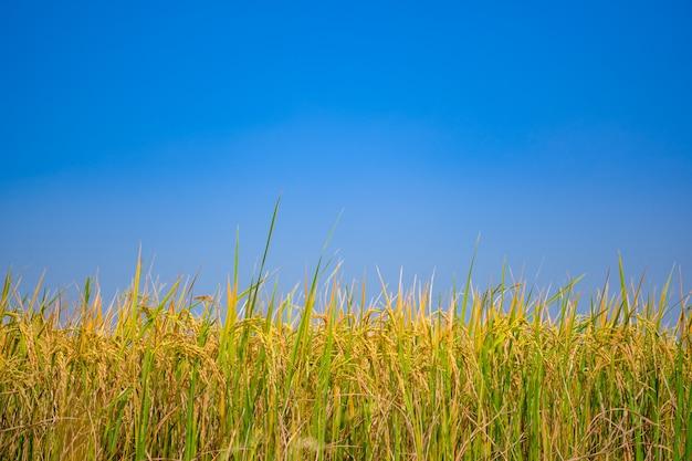 Rice pole na niebieskim niebie i jasnym obłocznym tle