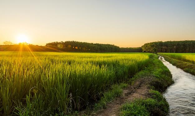 Rice pole z wschodem słońca lub zmierzchem w moning świetle