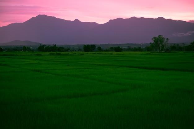 Rice segregujący przy zmierzchem w phayao tajlandia.