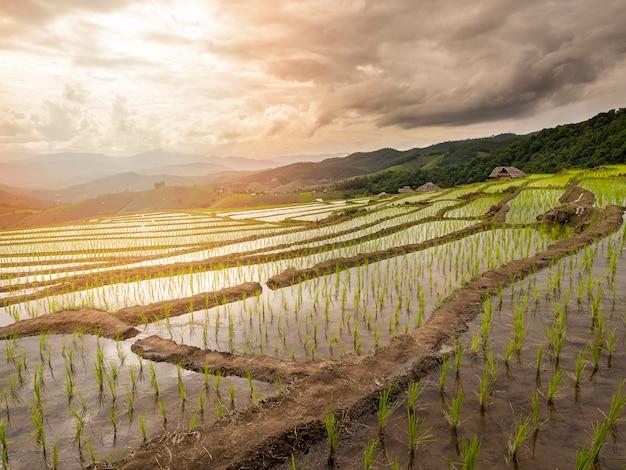 Rice tarasuje pole i budę przy chiang mai, tajlandia.