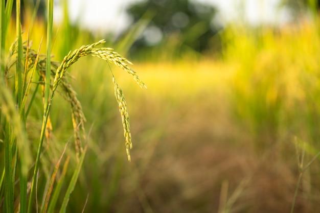 Rice w śródpolnym konwersja tescie przy północnym tajlandia