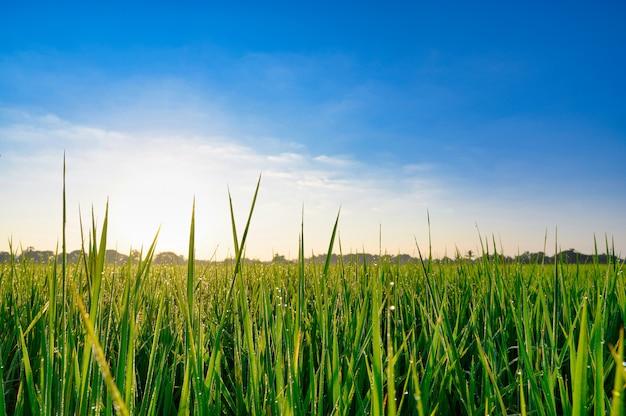 Rice zieleni pole z niebieskiego nieba tłem