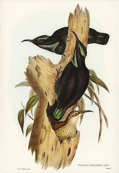 Rifle bird (ptiloris paradiseus) zilustrowany przez elizabeth gould