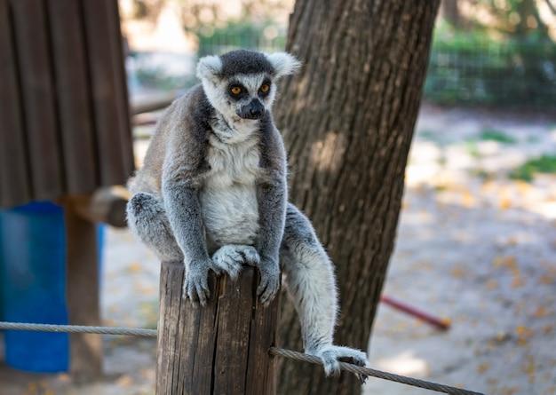 Ring tailed futrzany lemur siedzi na pniu drzewa. lemur katta siedzi na drzewie. lemur koronowany (lemur catta) z szeroko otwartymi oczami. ssak z pasiastym ogonem siedzący na gałęzi w lesie
