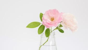 Różany kwiat w wazie na białym tle