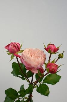 Różowa róża pomponella letnia spray na białym tle