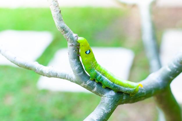 Robak gąsienica jedzący pozostawia naturę w ogrodzie