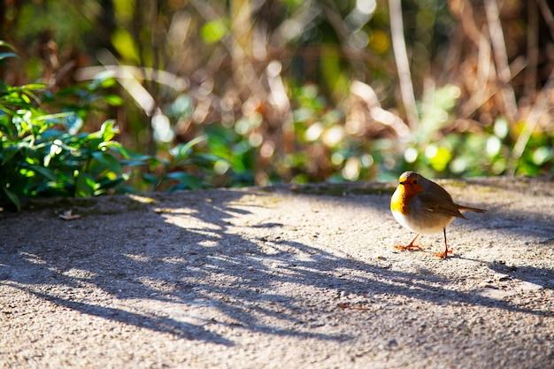 Robin - erithacus rubecula. mały szary ptaszek z pomarańczową piersią w słoneczny dzień