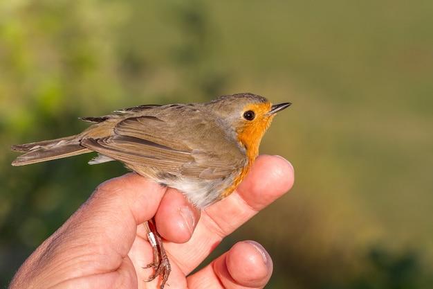 Robin, erithacus rubecula, ptak w dłoni kobiety do bandowania ptaków