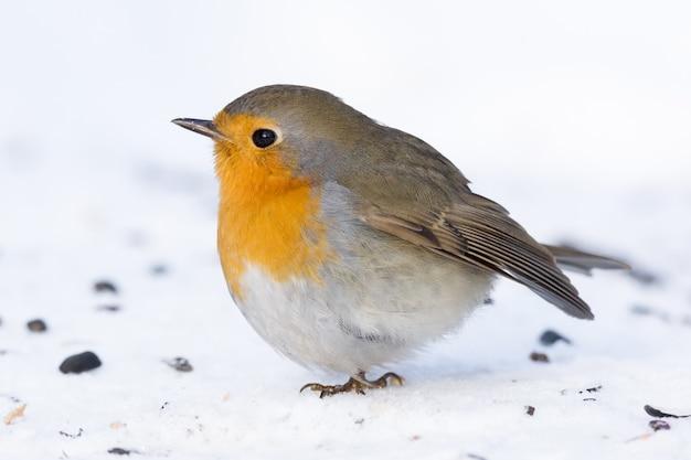 Robin na gałęzi