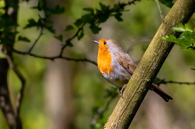 Robin siedzący na gałęzi drzewa